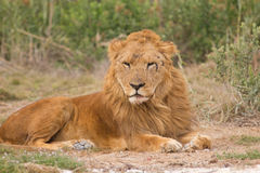 Old lion. Male Lion laying on the ground Stock Image