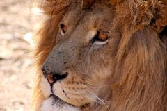 Old lion male Stock Photography