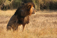 Old lion in sunset light Stock Image