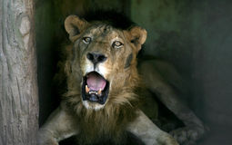 Old lion Stock Photography
