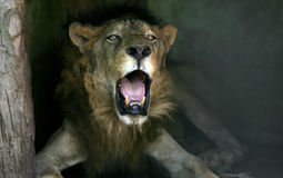 Old lion Stock Photo