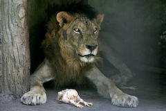 Old lion Stock Image