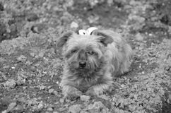 old little dog Royalty Free Stock Photos