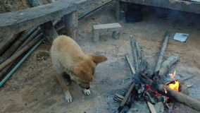 Old little dog is warming around the fire.  stock footage