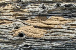 Old log and  ant's nest Royalty Free Stock Images