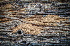 Old log and  ant's nest Royalty Free Stock Image