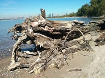 Old log on beach. Shoreline Toronto Stock Photography