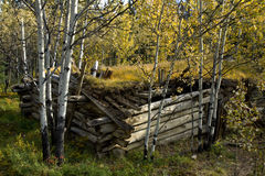 Old log cabin and golden aspens in the forest, near Haines Junction Royalty Free Stock Image