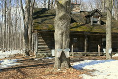 Old Log cottage among maple trees Royalty Free Stock Images