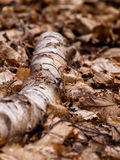 Old log on dry leaves Royalty Free Stock Images