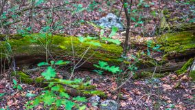 Old log of punk wood covered in bright green moss royalty free stock image