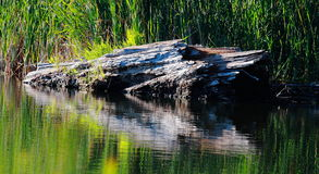 Old log reflected on lake. Old log or tree trunk reflected on lake with green reeds in background Stock Photos