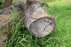 Old log timber rotten wood on grass ground Stock Photo