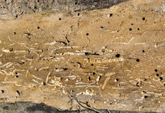 Old Log With Woodworm Holes Stock Images
