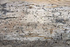 Woodworm holes and burrows Stock Photo