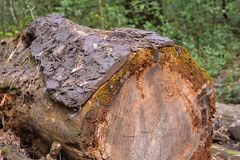 Old logs felled large trees, forgotten in the woods Stock Photography