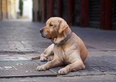 Old and lone retriever on a street. Spain Royalty Free Stock Photo