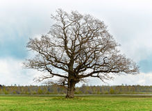 Old lonely tree Stock Images