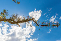 Old  lonely  tree in peruvian desert in South America,PERU against blue sky Royalty Free Stock Image