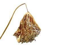 Old lotus leaf Royalty Free Stock Photo