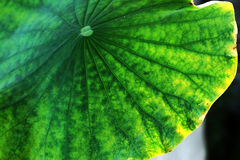 The old lotus leaf. Artificial  orchid  handicraft from Thailand Stock Photo