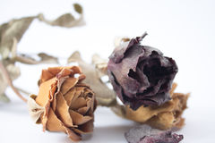 Old Love - Three dry and dusty roses Royalty Free Stock Photos