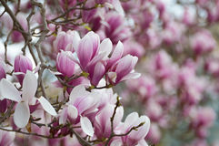 Old magnolia tree full of flowers Royalty Free Stock Photography