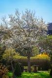 Old magnolia tree in garden Stock Image