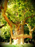 Old majestic oak tree. Old ancient colourful majestic bended oak tree Stock Image