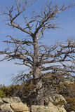 Old majestic tree in rocks. This is an old majestic tree growing out of the boulders royalty free stock photography