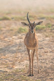 An old male arabian gazelle during early morning hours. Dubai, UAE. Stock Photo