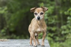 Senior male Chihuahua dog stock image