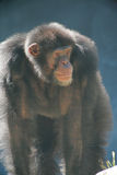 Old male chimpanzee Royalty Free Stock Images