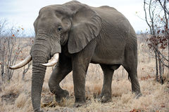 Old male Elephant Stock Photo