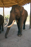 Old male elephant with large tusks Stock Images