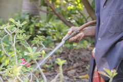 Old male hand watering Impala Lily Stock Image