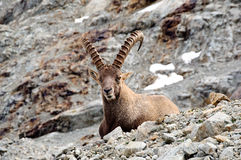 Old male ibex. A big male ibex in a rocky mountain Stock Photography