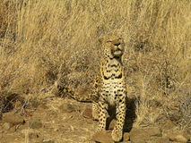 Southern african animals. Old male leopard in a game reserve Stock Photography