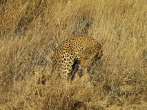Southern african animals. Old male leopard in a game reserve Stock Photos