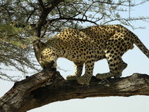 Southern african animals. Old male leopard in a game reserve Stock Image