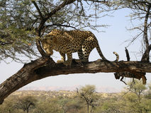 Southern african animals. Old male leopard in a game reserve Royalty Free Stock Photos