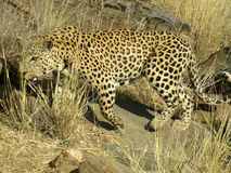 Southern african animals. Old male leopard in a game reserve Royalty Free Stock Images