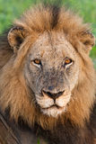Old male lion Stock Image