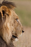 Old male lion Stock Photography