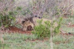 Old male lion digs a warthog from its burrow in nature. Old hungry male lion digs a warthog from its burrow in nature Royalty Free Stock Photos