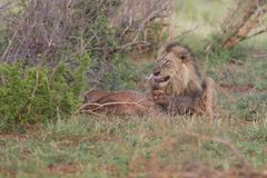 Old male lion digs a warthog from its burrow in nature. Old hungry male lion digs a warthog from its burrow in nature Stock Image