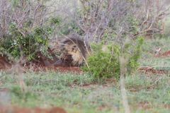 Old male lion digs a warthog from its burrow in nature. Old hungry male lion digs a warthog from its burrow in nature Royalty Free Stock Images