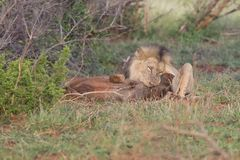 Old male lion digs a warthog from its burrow in nature. Old hungry male lion digs a warthog from its burrow in nature Royalty Free Stock Photo