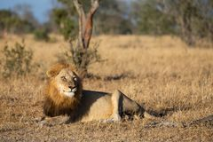 Old male lion watching hyenas close by early morning royalty free stock photos