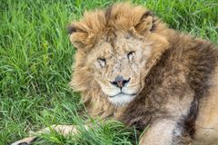 Old male lion in the grass. In Safaripark in Crimea, closeup Stock Image